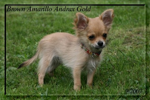 Brown Amarillo Andrax Gold