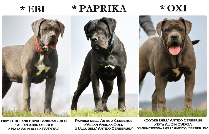 cane-corso-girls-page-collage.jpg