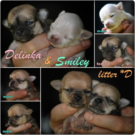 puppies litter D page collage