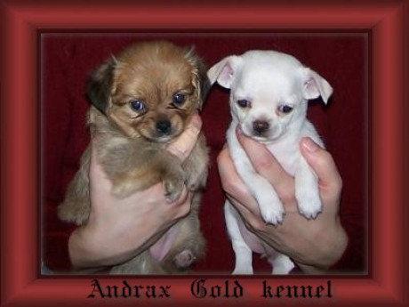 Andrax Gold kennel