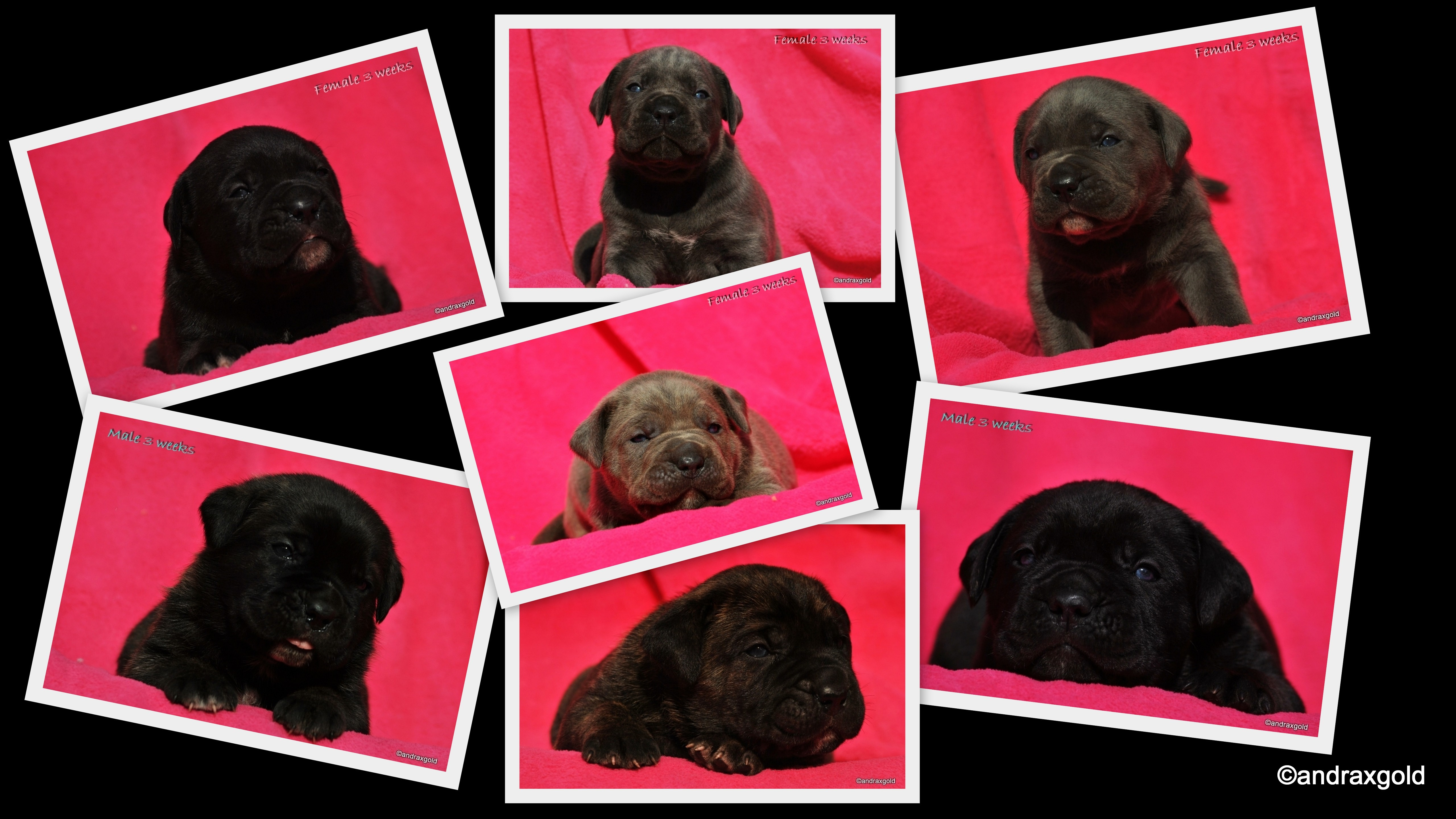 puppies-litter-d-cane-corso-fb3.jpg